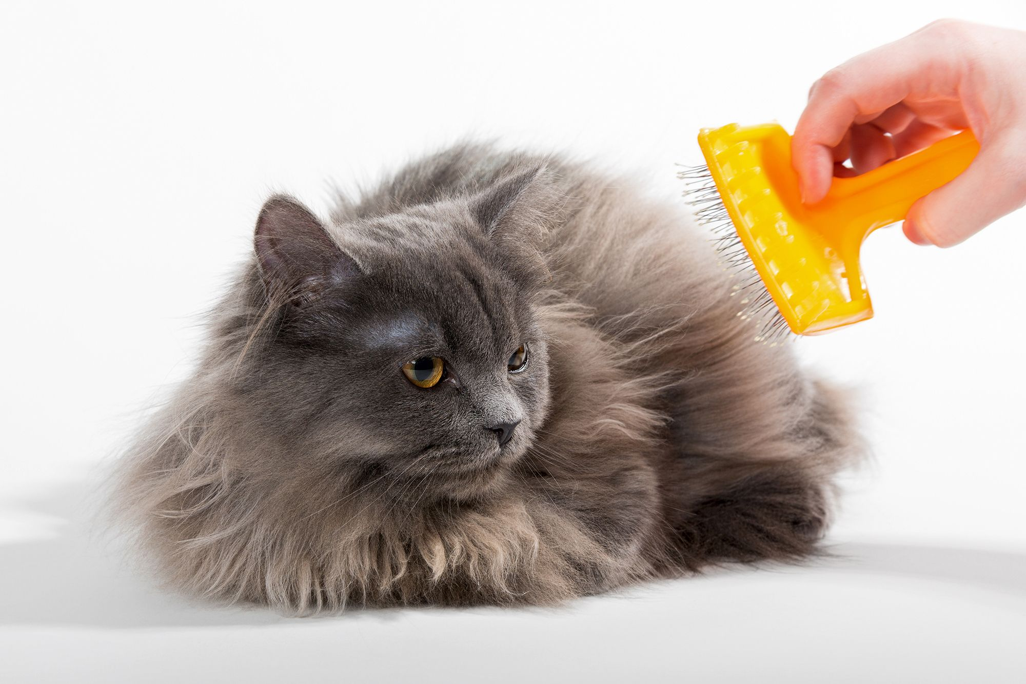 gato cepillado pelo