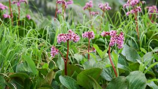 Hortensia de invierno