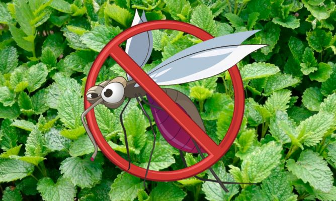 6 plantas contra los mosquitos hogarmania - Plantas ahuyenta insectos ...