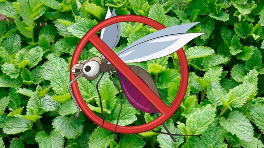 6 Plantas Contra Los Mosquitos Hogarmania - Plantas-para-jardin