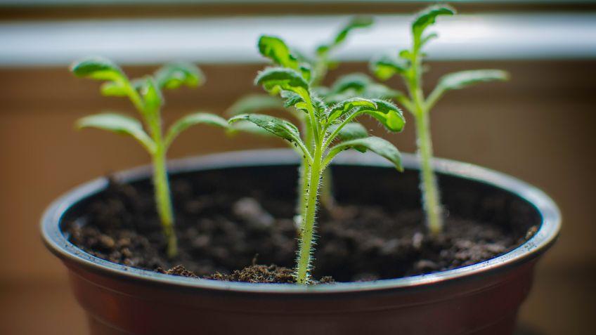 Reproduccion asexual en plantas acodo chino