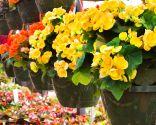 temas jardín 2016 - tipos begonias
