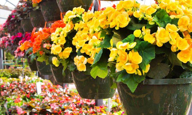 Tipos de begonias cultivo de begonias cuidados plantas - Tipos de plantas y sus cuidados ...