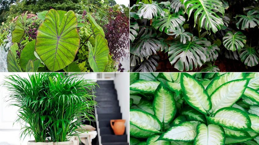 12 plantas de interior de hoja grande - Hogarmania