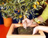 Los kumquat