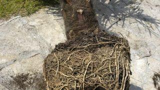 Trasplantar una palmera en una maceta - Jardinatis
