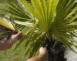 Trasplante de palmera en maceta