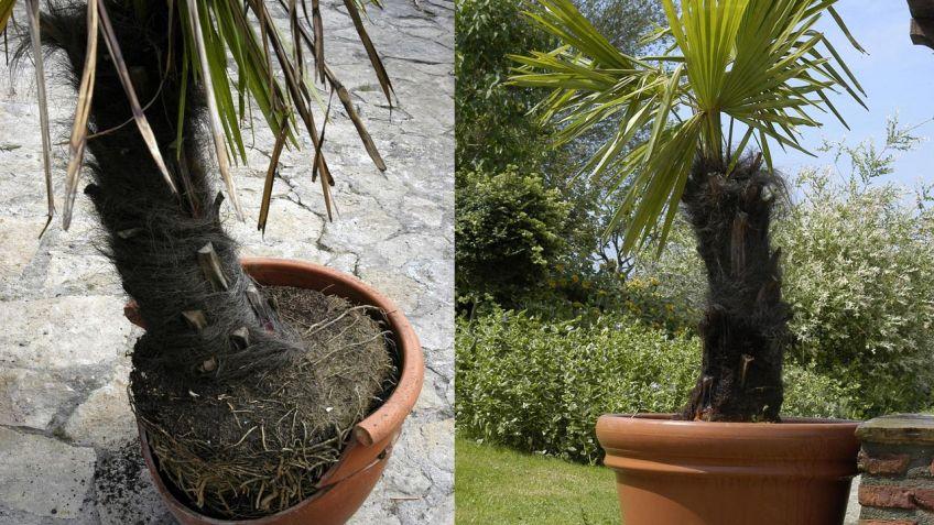 Trasplante de palmera en maceta - Bricomanía
