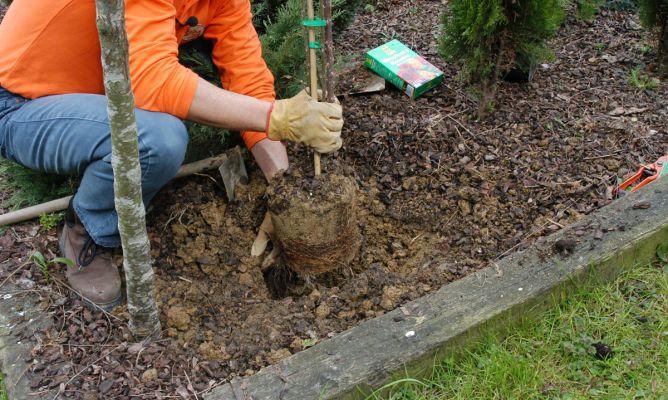 Plantar un rosal al pie de un rbol bricoman a - Bricomania jardineria ...