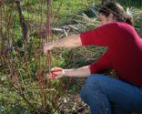 Podar arbustos del jardín