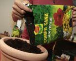 Cultivar cilantro