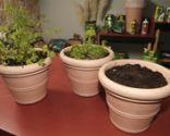 Cultivar el cilantro