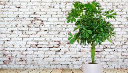 Schefflera amate decogarden - Jacinto planta interior ...