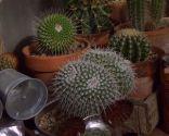 Variedades de cactus y su mantenimiento - Cactus asiento de la suegra
