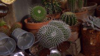 Cactus asiento de la suegra