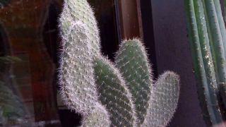 Cactus chumbera o cactus opuntia