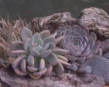 Variedades de cactus y su mantenimiento - Echeverias