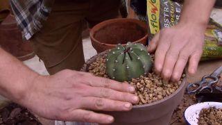 Trasplantar un cactus - Paso 4