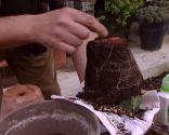 Variedades de cactus y su mantenimiento - trasplante del cactus