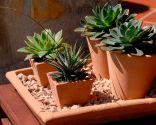 composición plantas crasas macetas individuales - 4