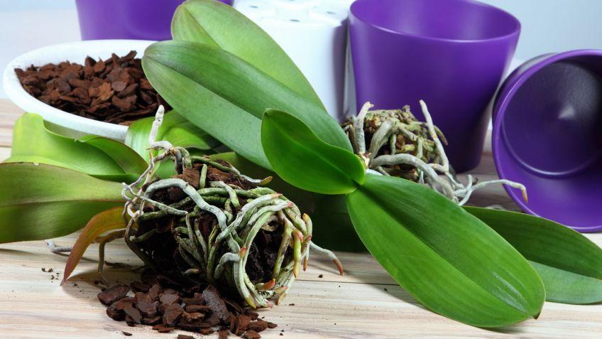 Cuidados De Las Orquideas En Periodo De Reposo Decogarden - Orquideas-blancas-cuidados