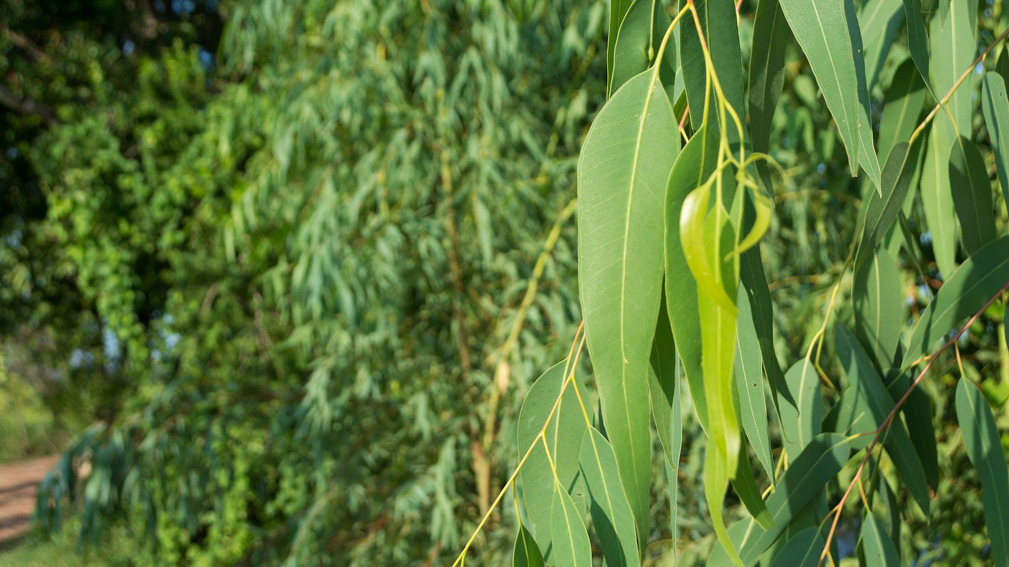 hojas árbol eucalipto