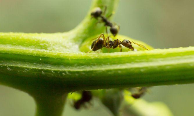 Remedios para combatir las hormigas del jard n hogarmania for Insectos del jardin