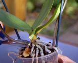 Cómo recuperar una orquídea - Paso 1