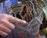 Cómo recuperar una orquídea - Raíces