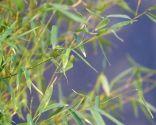 Abonar los árboles y arbustos en invierno - Bambú