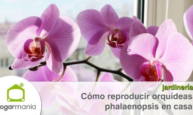 C mo reproducir orqu deas phalaenopsis en casa bricoman a - Como cuidar una orquidea en casa ...