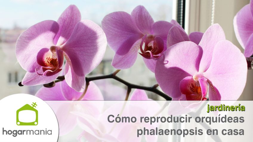 Reproduccion asexual vegetativa por medio de bulbos de orquideas