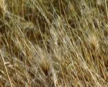 Plantas con tonos pajizos en invierno - Pennisetum