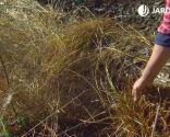Plantas con tonos pajizos en invierno - Brotes pennisetum