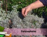 Las plantas de hojas grises en invierno - Calocephalus