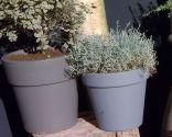 Las plantas de hojas grises en invierno - Contenedores
