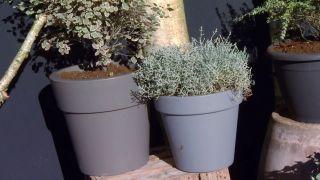 Las plantas de hojas grises en invierno