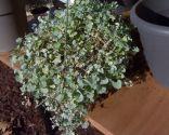 Las plantas de hojas grises en invierno - Dichondra