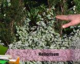 Las plantas de hojas grises en invierno - Helicrisum