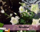 Las plantas de hojas grises en invierno - Helleborus o rosa de invierno