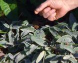 Las plantas de hojas grises en invierno - Stachys Lanata o Byzantina