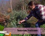 Las plantas de hojas grises en invierno - Teucrium fruticans u olivilla