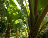 Plantas de hojas grandes para exterior - Crecimiento bananeras