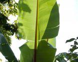 Plantas de hojas grandes para exterior - Usos de las hojas