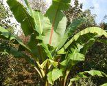 Plantas de hojas grandes para exterior - Musa Ensete