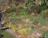 Acorus gramineus - parterre en invierno