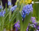 Composición con bulbos de narcisos, muscarias y jacintos - Jacintos