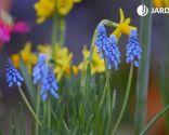 Composición con bulbos de narcisos, muscarias y jacintos - Muscarias