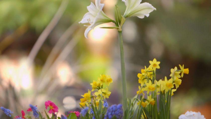 Composicin con bulbos de narcisos muscarias y jacintos Bricomana