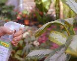 Cómo recuperar las plantas tras una helada - Aglaonema revitalizante foliar